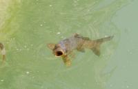 Großer Fisch in Teich des Alcazar