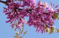 Baumblüten über mir