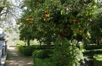 Orangenbaum im Park Campo de los Martires