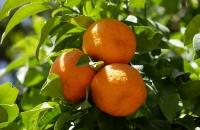 Orangen - da möchte man doch gleich reinbeißen