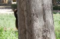 Eichkätzchen das den Baum rauf kraxelt