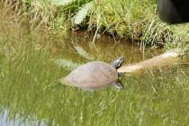 Wasserschildkröte beim Sonnenbad