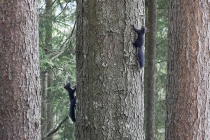 Zwei amerikanische Eichkätzchen auf Baum