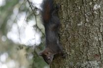 Amerikanisches Eichkätzchen auf Baum