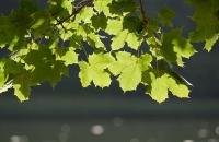 Vom Sonnenlicht durchflutete Blätter
