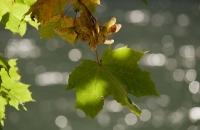 Herbstliches Blatt im Gegenlicht