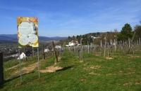 Weinberg in Obernai