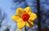 Gelbe Blüte in einem Blumentopf in Obernai