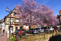 Rosa blühender Baum in Obernai