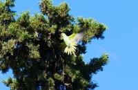 Papagei beim Landen in Baum