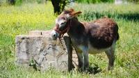 Ein armer Esel der den ganzen Tag mit kurzer Leine angekettet