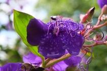 Blüte mit Tautropfen