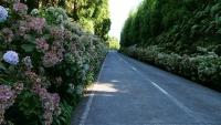 Sehr oft auf den Azoren zu sehen - Hortensien links und rechts der Straße