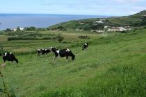 Die Kühe fressen Gras und keinen Tee