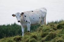 Diese fesche Kuh beobachtete mich neugierig