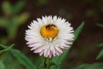 Strohblume mit Insekt