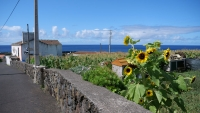 Sonnenblumen in Faja Grande