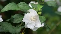 Weiße Blüte mit Regentropfen