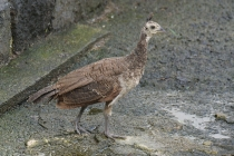 Pfauenbaby