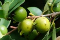 Kleine, grüne Früchte