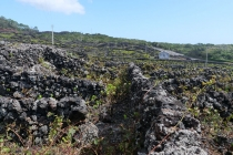 Weinanbau auf Pico