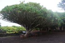 Drachenbaum im Weinmuseum