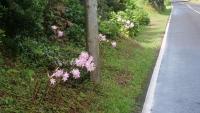 Typische Blumen entlang der Straßen auf der Insel Pico