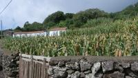 Hier wird sehr viel Mais angebaut