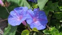 Regentropfen auf Windenblumen