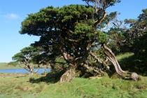 In der Hochebene sieht man nur mehr solche knorrigen Bäume