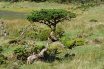 Knorriger Baum auf der Hochebene