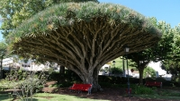 Rote Bank unter Drachenbaum im Jardim Florencio Terra