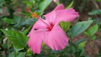 Hibiskusblüte im Park Quintas das Rosas