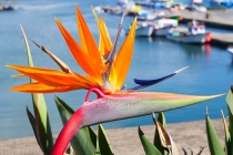 In Ponta Delgada bekam ich doch tatsächlich noch eine Strelitzie vor die Kamera