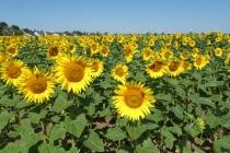 Sonnenblumenfeld nahe Helmahof