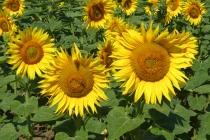 Schön blühende Sonnenblumen nahe dem Helmahof