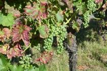 Reben für den Wein des Jahrgangs 2020
