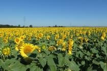 So ein großes Sonnenblumenfeld habe ich in meinem Leben vorher noch nie gesehen!
