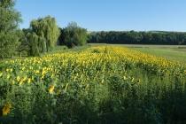 Sonnenblumenfeld zwischen Waidendorf und Velm Götzendorf