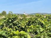 Weingarten mit Breitenbrunn im Hintergrund