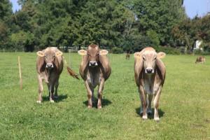 Drei interessierte Kühe